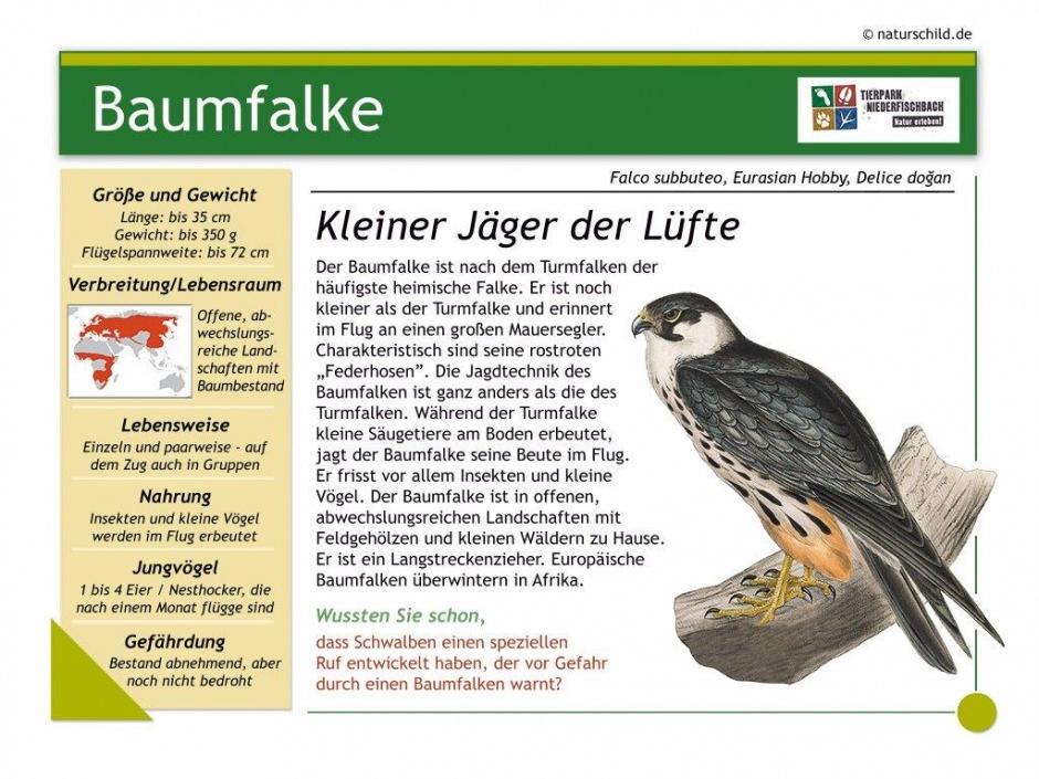 Baumfalke