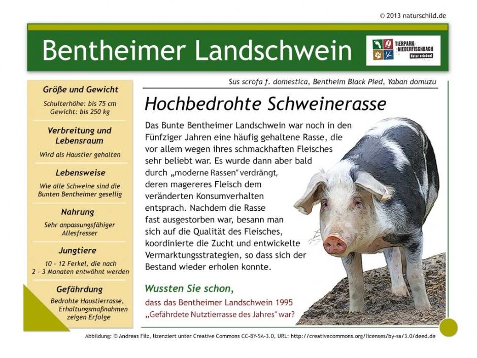 Bentheimer Landschwein