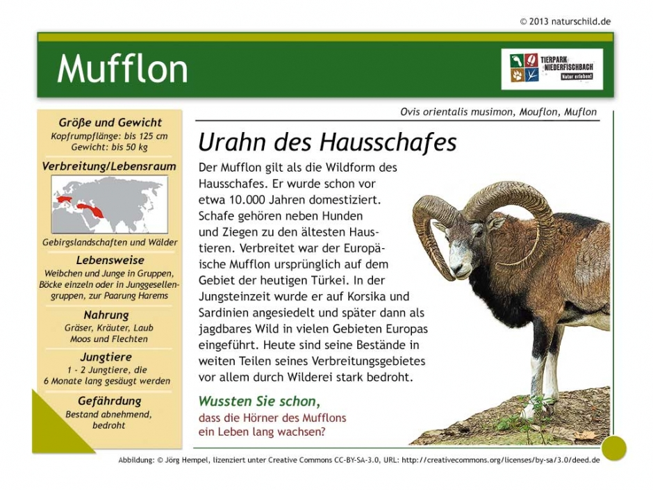 Europäischer Mufflon