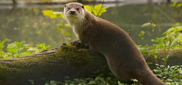 Hurra, die Otter sind da!