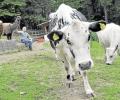 Seltene Wikinger-Kühe im Tierpark