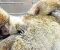 Die Gibbons bleiben wohl für immer im Tierpark