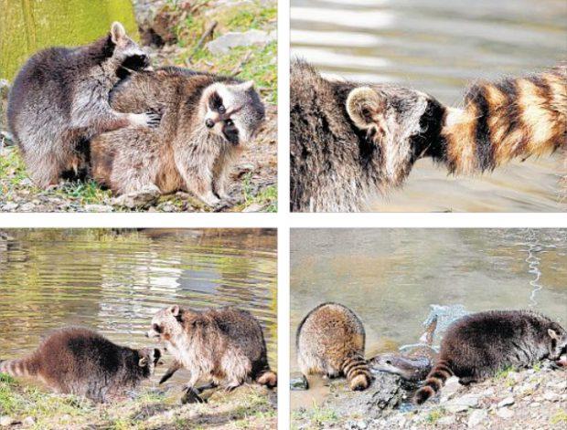 Manfred kuschelt mit den Ottern