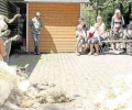 Schafe tragen nach dem Wollfest jetzt eine leichte Sommerfrisur