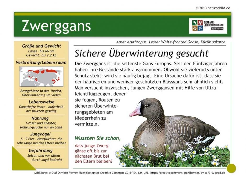 Zwerggans