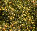 Apfelsaftpressen im Tierpark Niederfischbach
